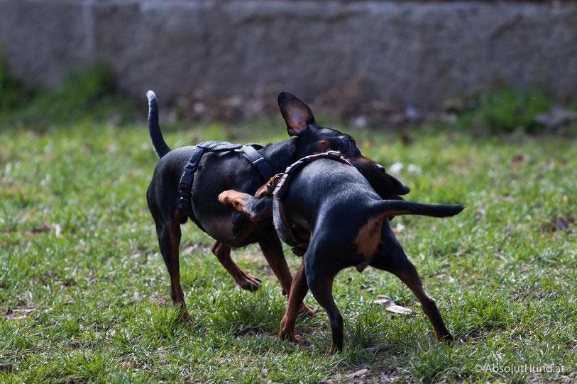 Zwei Zweipinscher  beim Spielen - Hunde