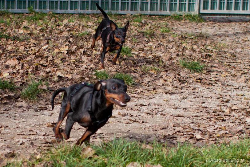 Ein zweiter Hund kommt ins Haus - AbsolutHund.at