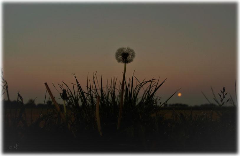 An einem frühen Morgen: Die Pusteblume & der Mond