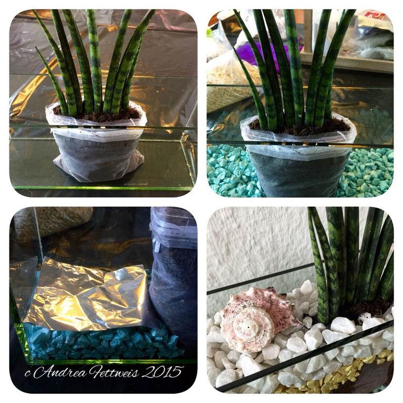 Einpflanzen, Sansevieria cylindrica Bojer ex Hook, Glashafen, Sukkulente, Ziersteinchen, Schneckenhäuser
