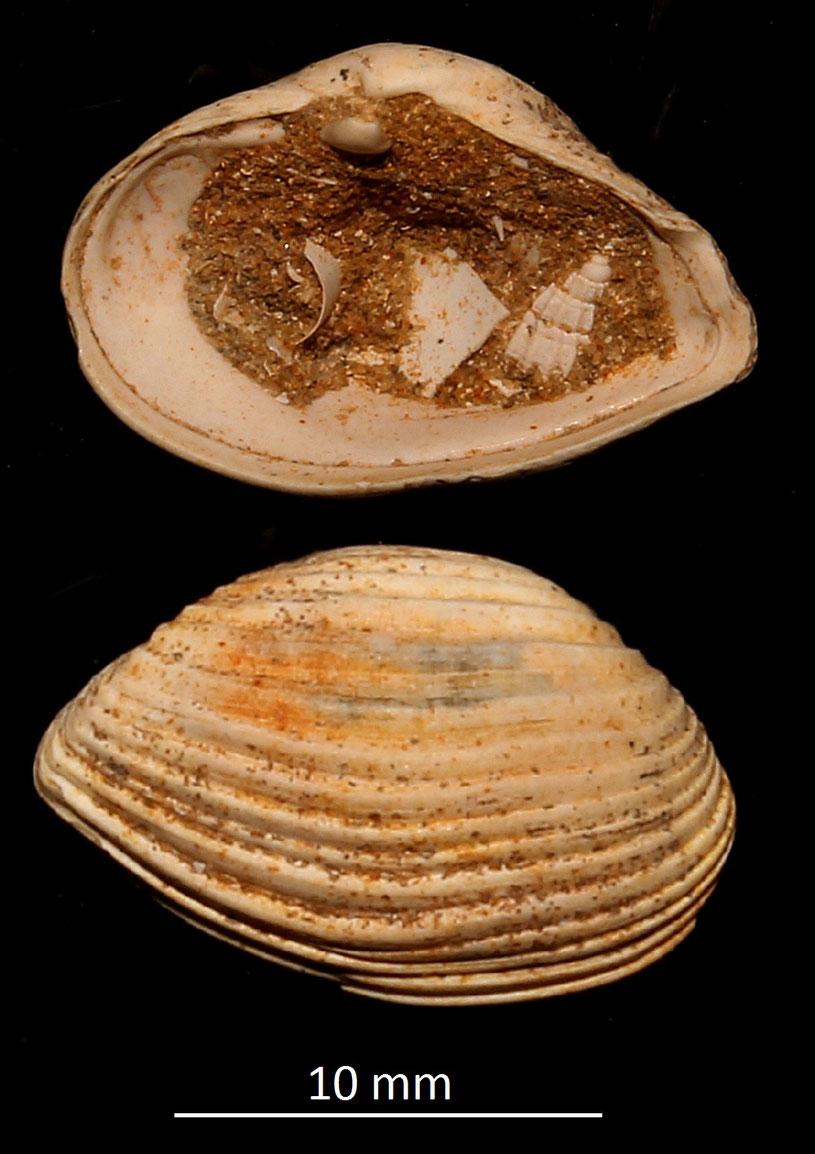 Corbula carinata mut. hoernesi, Miocene dell'Aquitania