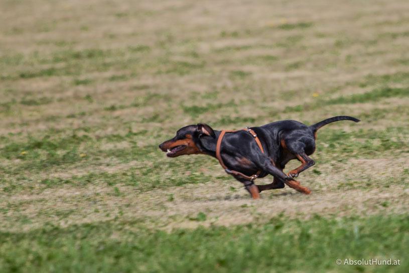 Aus meinem Hundealbum, Hund, laufen, Zwergpinscher