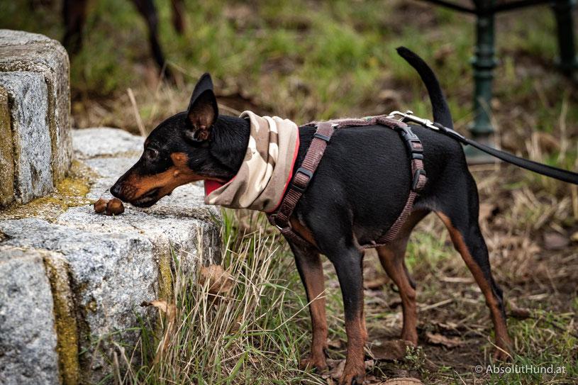 Hund Zwergpinscher