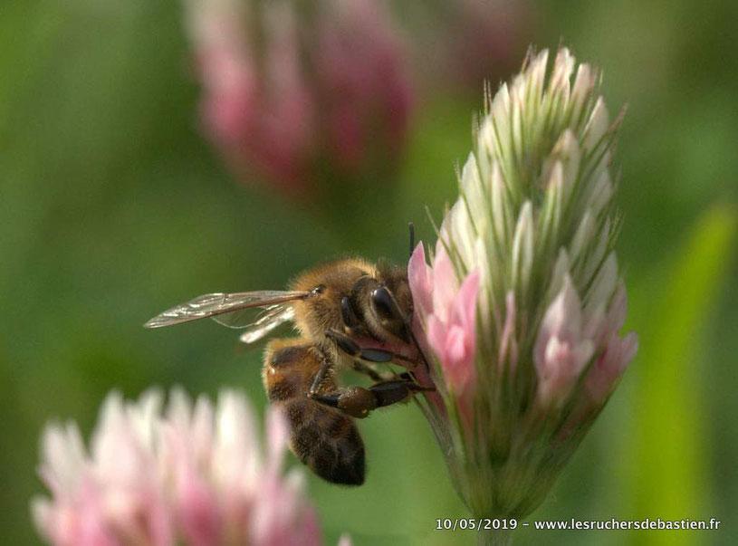 abeille sur le Trèfle incarnat trifolium incarnatum en Cévennes