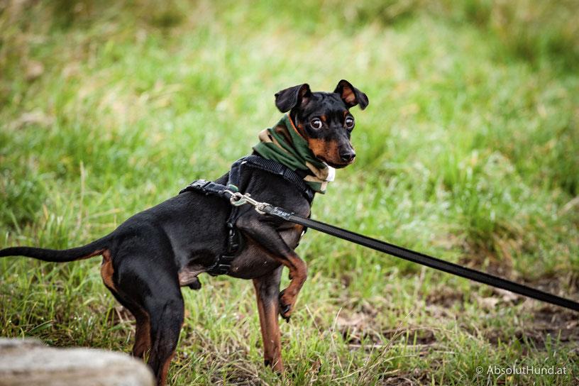 Hund, Pollux, Zwergpinscher, Absoluthund,
