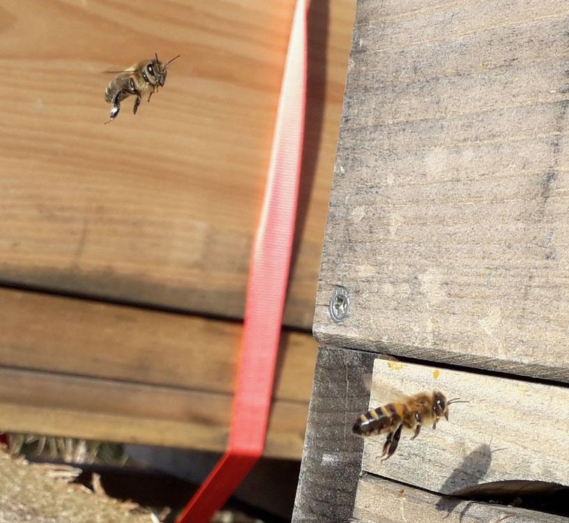 Erster Bienenflug 2018