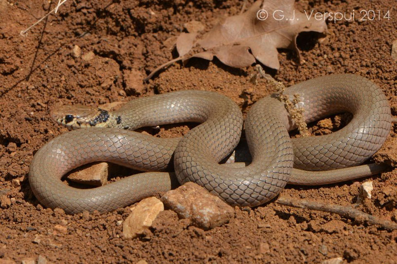 Eirenis modestus,  Mount Hermon, Israel, May 2014