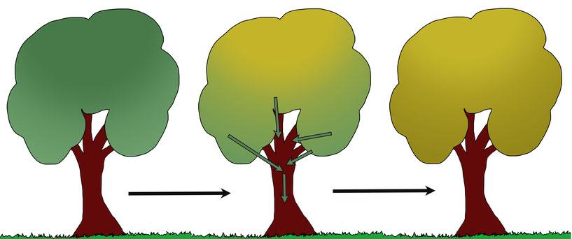 Im Herbst wird der grüne Blattfarbstoff von den Blättern in die Äste und Stämme eines Baumes transportiert.