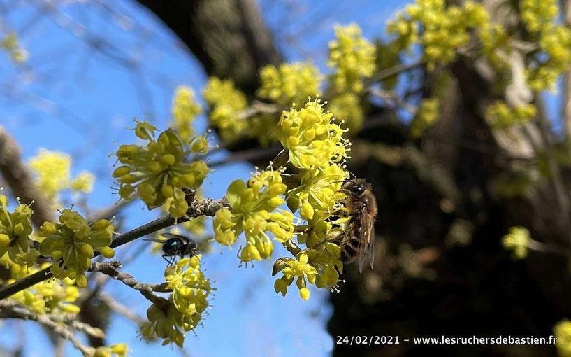 Corcouiller male et abeille cevennes