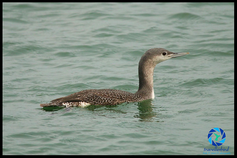 Juvenile red-throathed loon