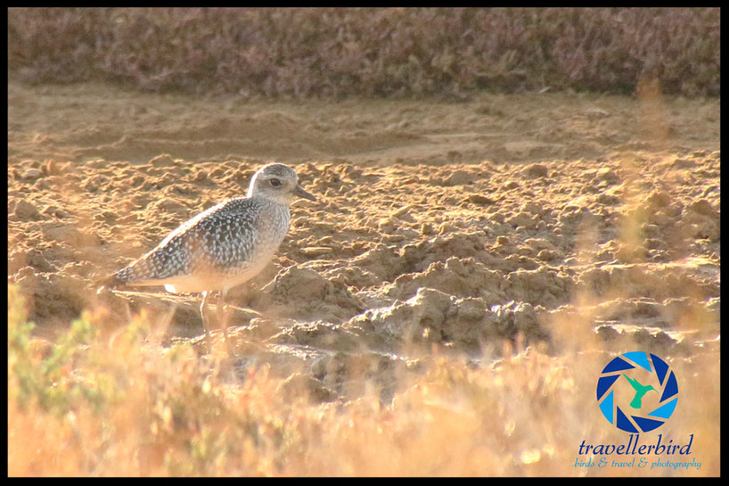 Gray plover