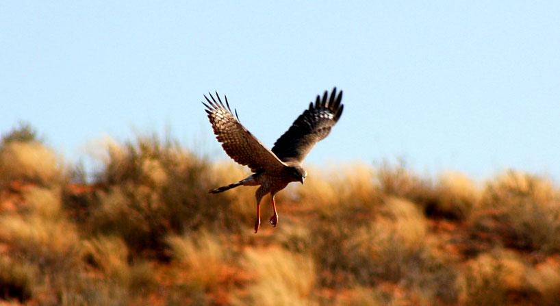 Der Turmfalke hat es regelrecht perfektioniert in den offenen Ebenen am Rande der Wüste zu jagen. Von hoch oben erspäht er seine Beute, um sich dann blitzschnell hinabzustürzen und sich seine Beute zu greifen.