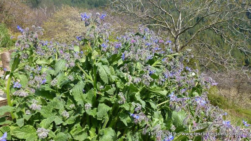 fleurs de la Bourrache officinale Cévennes