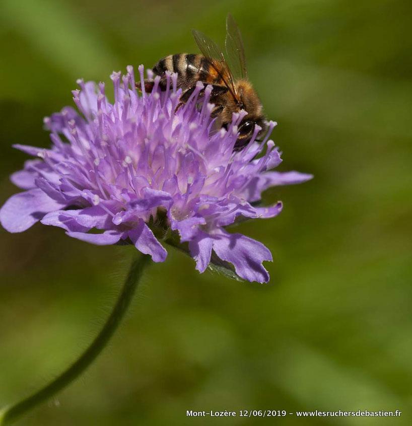 Apis mellifera & Knautia arvensis, Mont-Lozère (48)