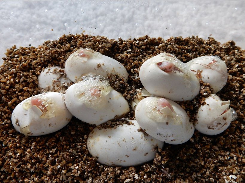 Kornnatter Gelege - Eier - Schlupf