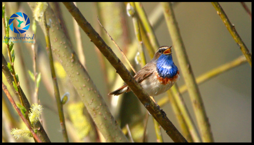singing Bluethroat Blaukehlchen