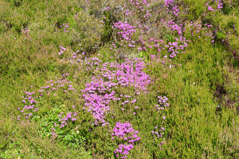 Heather flowering