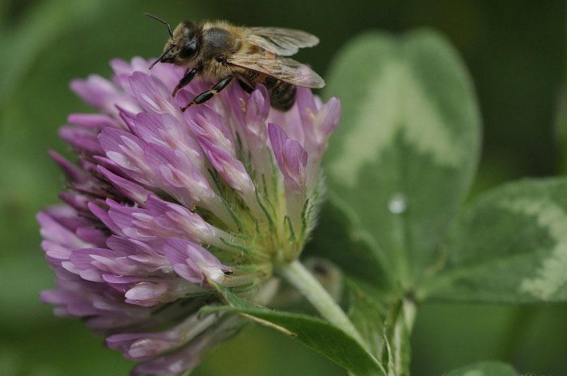 Insecte Apis mellifera sur fleur de Trifolium pratens
