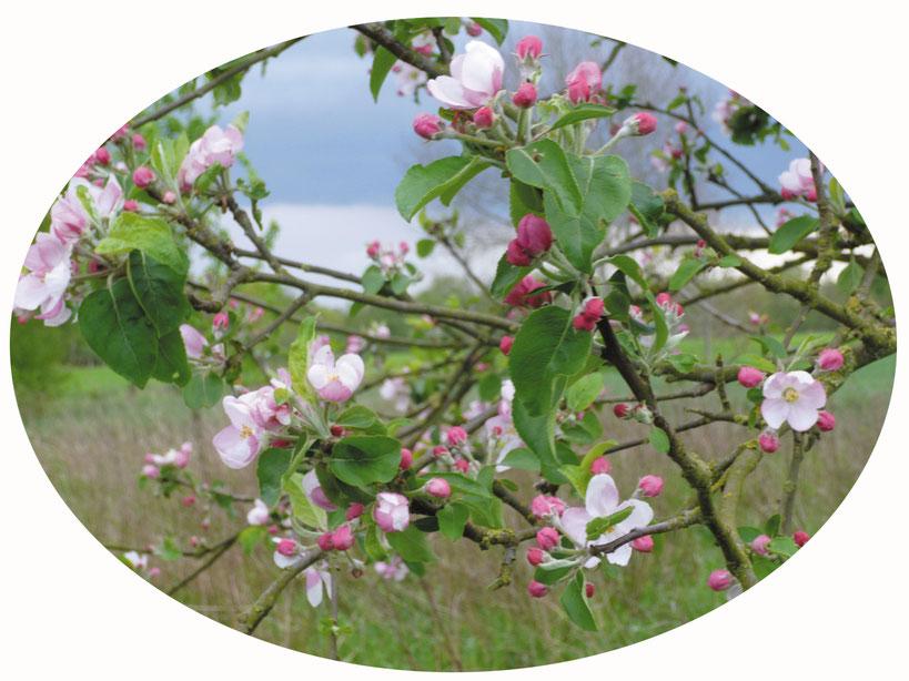 Foto Apfelbüten © Winfried Haas
