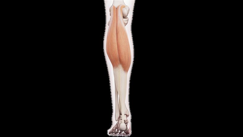 Muscolo gastrocnemio (vista gamba posteriore)