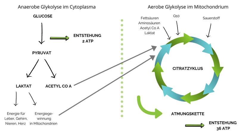 Energiegewinnung links ohne Sauerstoff (=anaerob) aus Glucose und links mit Sauerstoff (=aerob) im Mitochondrium aus Fettsäuren, aber auch aus Resten (Laktat & Acetyl Co A) des anaeroben Stoffwechsels.