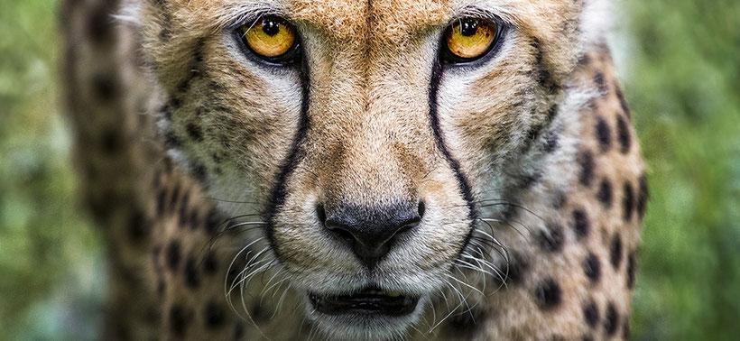 Cheetah closeup in South Africa