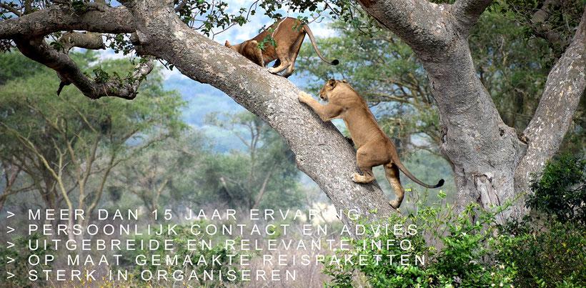 Leeuwen klimmen in boom in Zuid-Afrika