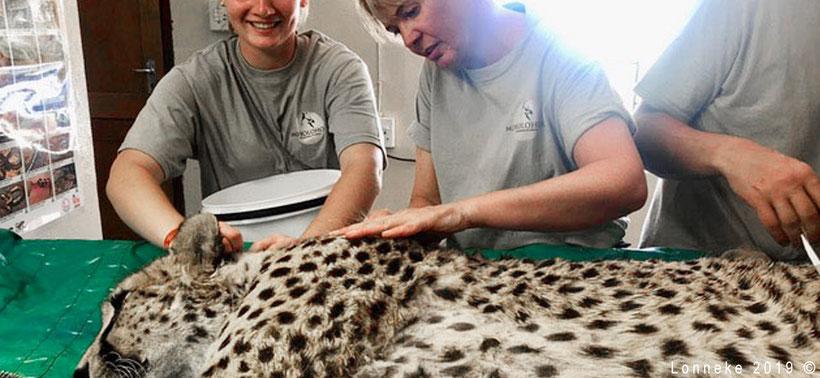 Vrijwilliger in Zuid-Afrika onderzoekt cheetah