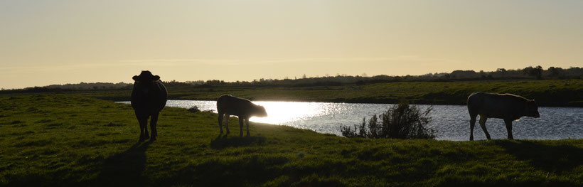Des Bazadaises de l'élevage Guinot sur les marais de l'ile d'Oléron