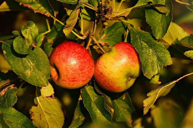Die Romane von Daphne du Maurier: Der Apfelbaum