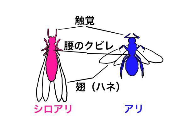 シロアリとクロアリの有翅虫の三つの大きな違い