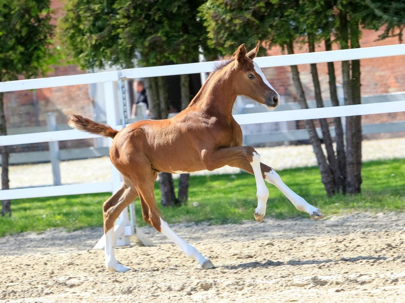 Hanoverian Horse buy, foal, colt, buy horse, sell horse, horse auction, GHI member