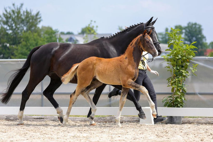 Hanoverian, foal, colt, horse auktion, top price