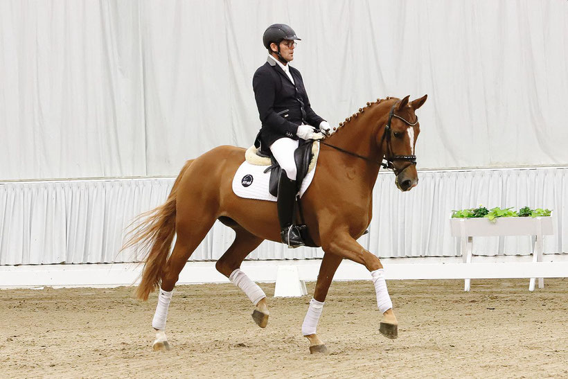 Hanoverian, horse, dressage horse, jumping horse, buy horse, sell horse, horses for sale, GHI member, member of GHI