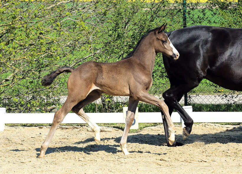 Hanoverian Horse, Horses for sale, buy horse, horse auction, Hannoveraner, foal, colt, GHI member