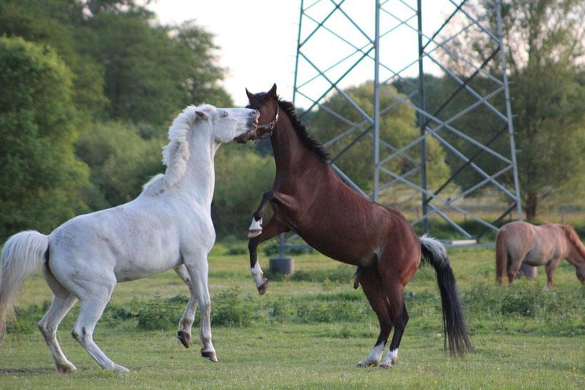 Unklare Rangordnung? Bei Pferden geht es auch mal gröber zu. Wer den anderen zurückdrängen/bewegen kann, ist der Ranghöhere.
