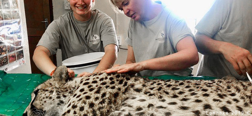 Examination of a leopard