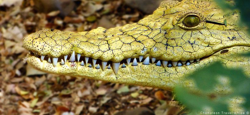 Yellow crocodile South Africa
