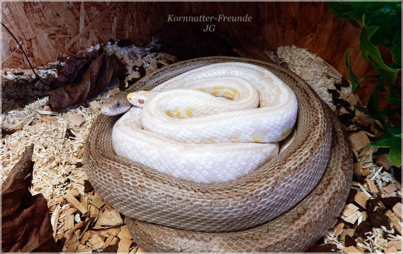 Kornnattern Snow Tessera + Ghost Rough Striped Motley
