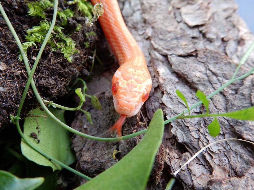 Kornnatter Mandarin Tessera