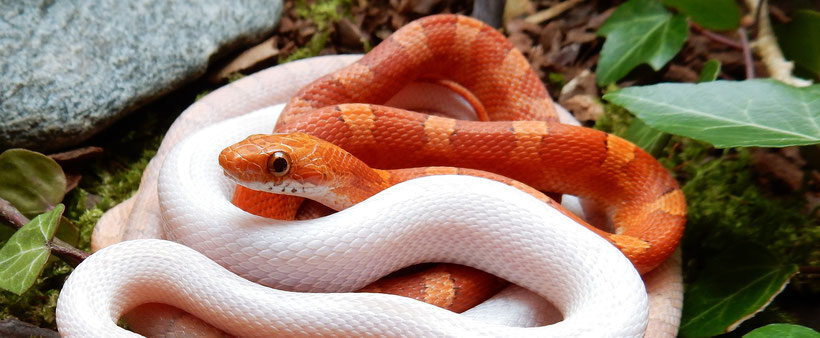 Hypo Bloodred Kornnatter