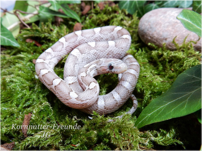 Phantom het. Bloodred~Lavender Kornnatter