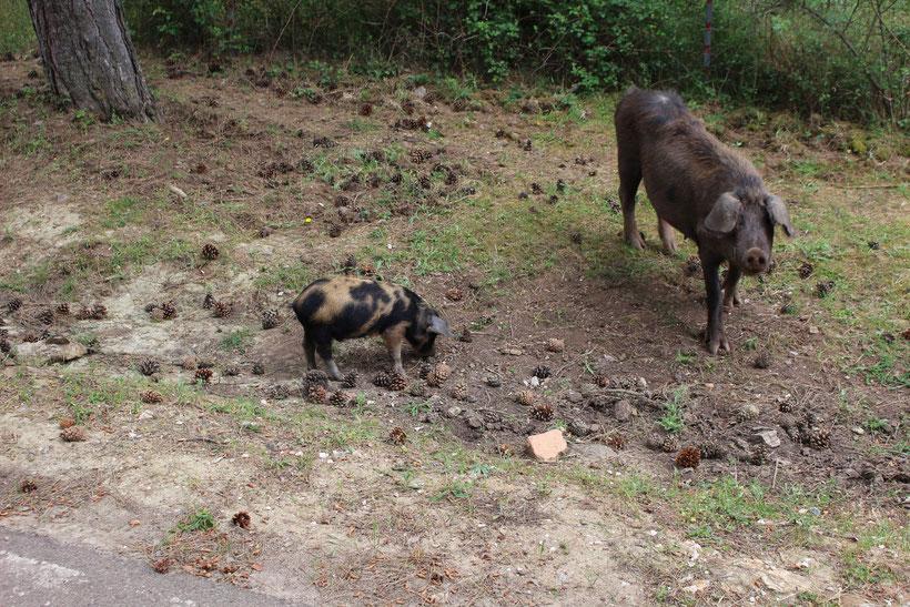 Kein Zaun, kein Gehege. Schwein gehabt! Die zwei kriegen auch 23 ü´s von uns. Süüß!