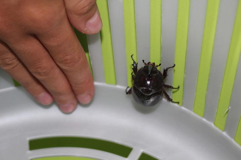 Was für ein Brummer! Ein Käfer wohnt in unserer Spülschüssel
