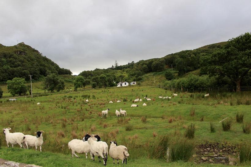 Blackface-Schafe in ihrem Nachtquartier neben der Vila