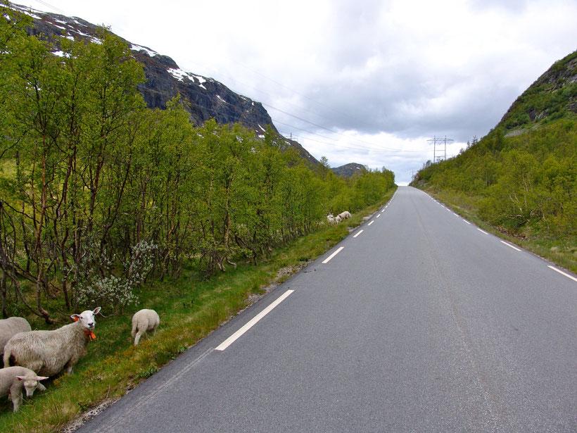 Langsam! Schafe haben Vorfahrt