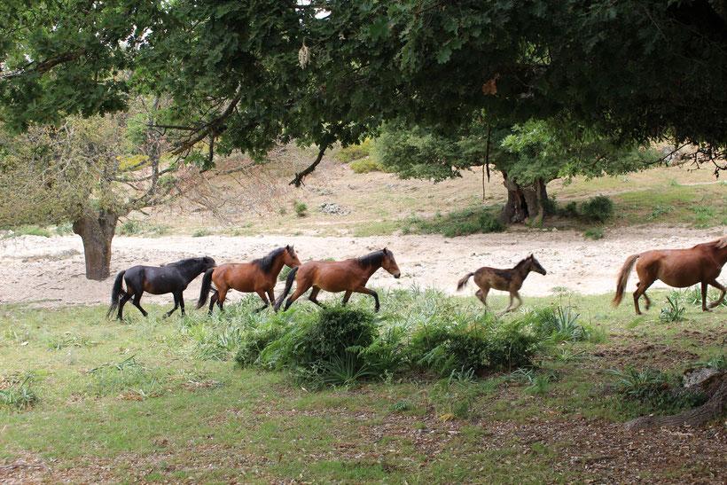 Wildpferde und Fohlen auf dem Weg zum Forstamt