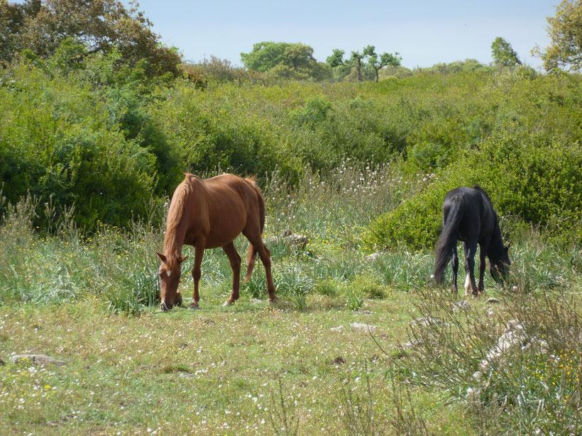 Giara di Gesturi. Frei umherstreifende Pferde
