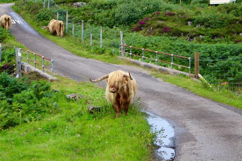 Highland-Rinder auf der Straße
