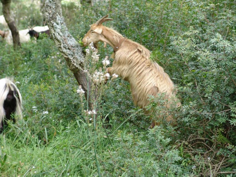 Ziegenherde im Naturreservat Giara di Gesturi